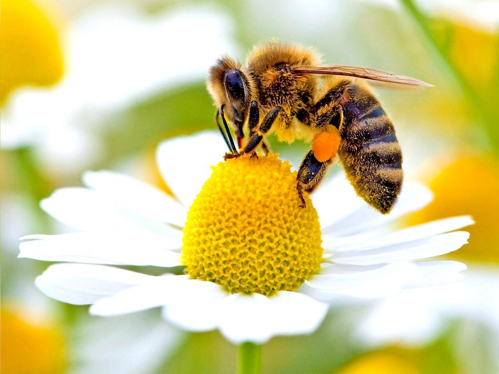زنبور و عسل