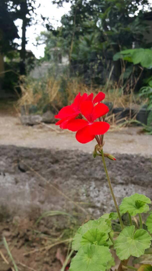 گل شمعدانی من