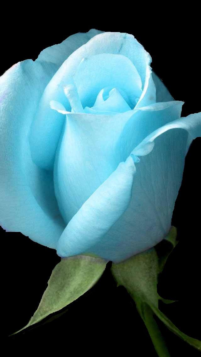 رز-آبی-روز-زن-مادر