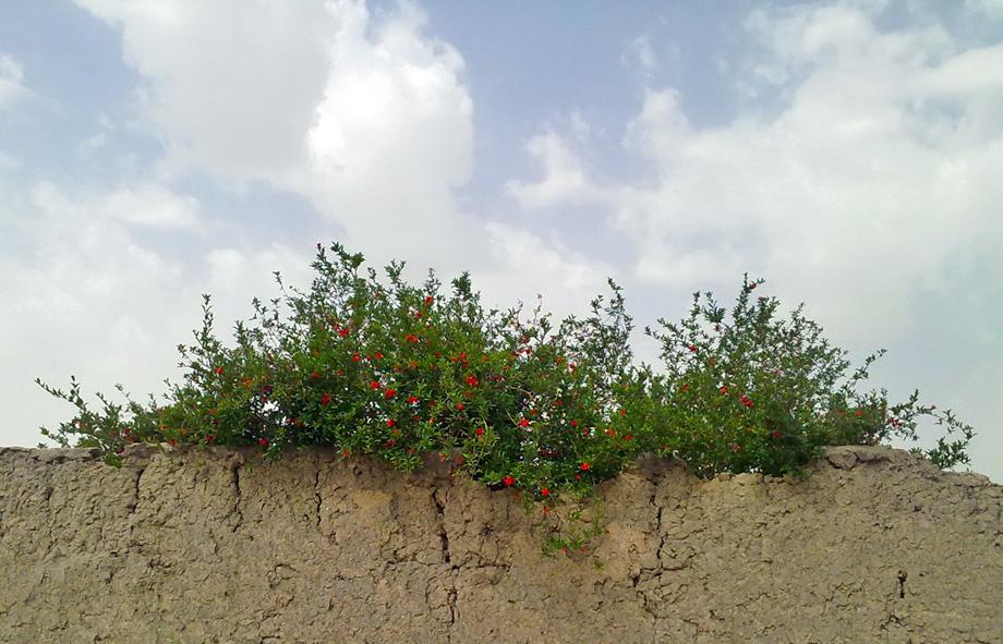 درخت-دیوار کاهگلی-میوه